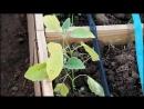 Во саду ли в огороде • Все Огородники Этого Боятся. Без Паники! Перец И Баклажаны После Высадки В Грунт.