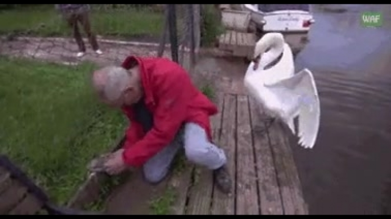 Мужчина спас лебеденка, который застрял в ограде.