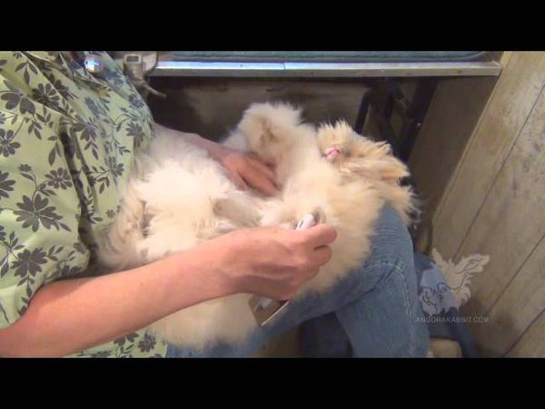Grooming English Angora Rabbits for show and fiber