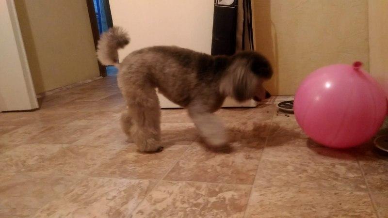Серебристый пудель играет с шариком