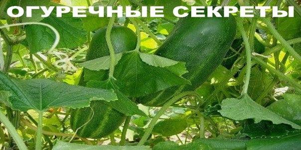 ОГУРЕЧНЫЕ СЕКРЕТЫ: Как продлить плодоношение и собрать большой урожай