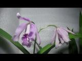 Cat.maxima semi-alba 'La Pedrena' SMJOGA x self_1080p (timelapse video)
