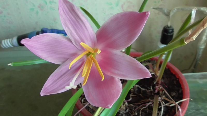 Цветёт розовый цветок зефирантес