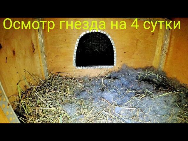 Осмотр гнезда на 4 сутки после окролаПолтавское серебро