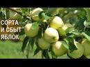 Яблоневый сад КФХ Берзой. Сорта яблонь. Сбыт яблок