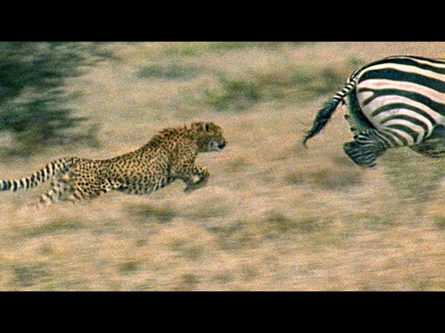 Young Cheetah narrowly escapes injury chasing prey - Cheetahs Fast Track To Freedom - BBC Earth