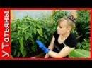 ПЕРЕЦ болгарский сладкий Подкормка №1 удобрение в период плодоношения для пер