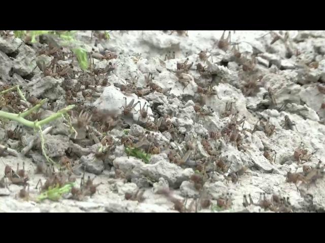 Наюге России борются снашествием саранчи втрех районах Ставрополья введен режим ЧС Новости Первый канал