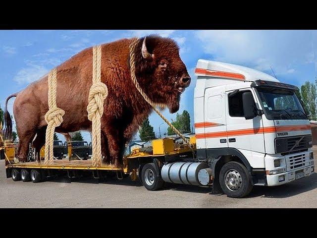 Intelligent Technology Smart Modern Farming Cow Milking, Transportation, Huge Bull Buffalo Breeding