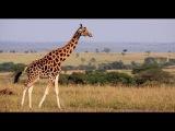 Играем в Wild Animals Online за жирафа. Выигрываем батлы.