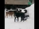 В Норильске стая бродячих собак не дает покоя жителям.