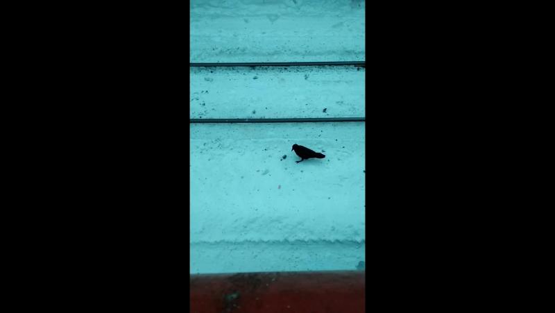 Умный ворон