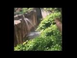 3 летний мальчик упал в вольер к гориллам в зоопарке Цинцинати-