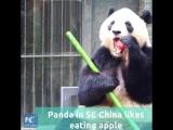 Вот как панды по всему миру отмечали Китайский Новый год