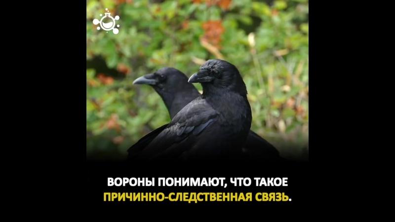 Немного о коварном вороне