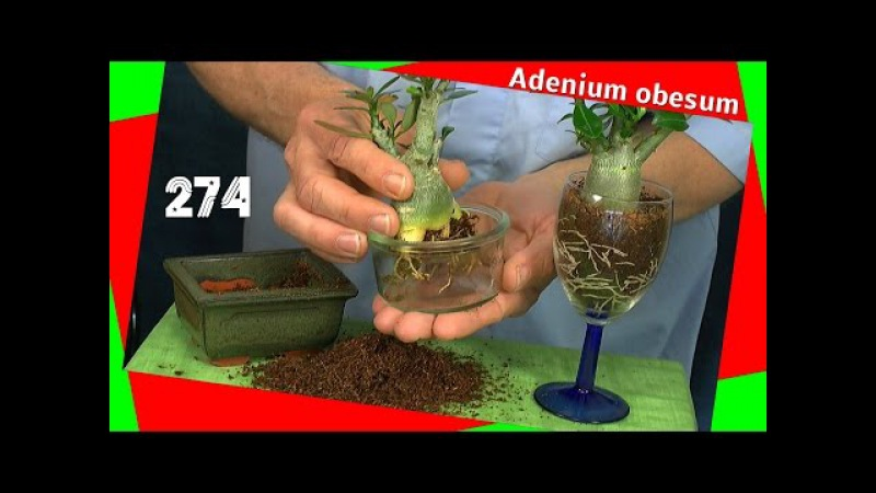 Gelbe Blätter Adenium obesum die Wüstenrose einpflanzen