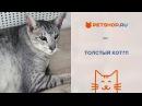 Что делать, если кот потолстел Признаки лишнего веса у кошек