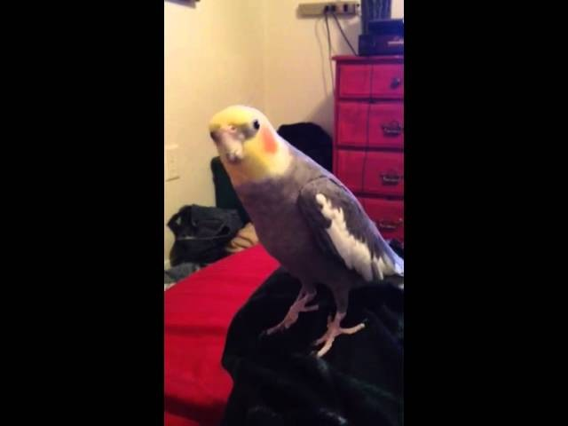 Cockatiel sings Skyrim theme