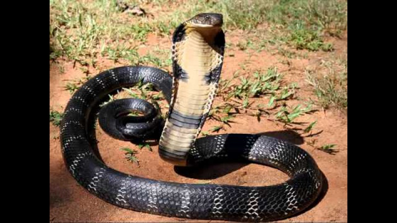 Sound king cobra, voice king cobra, hiss king cobra   Звук, шипение королевской кобры