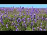 Лаванда, поле, птицы поют, релакс, сверчок, звуки природы, лето, шум ветра, звуки поля, пчелы