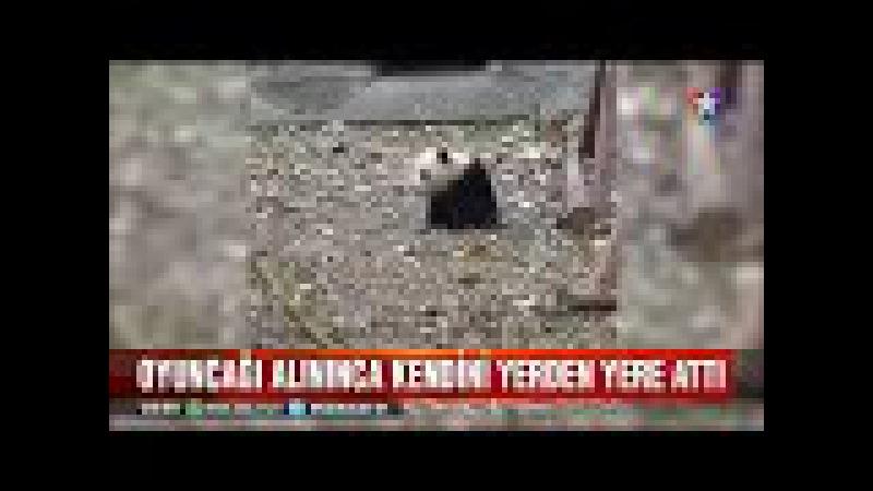 Oyuncağı elinden alınan panda çocuk gibi kendini yerden yere attı