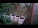 Выращивание помидоров в купольной теплице. Теплица изнутри через 1 год