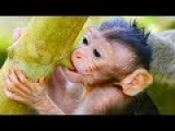 Wahoo! Baby Monkey Newborn Want To Nurse Tree - This Is Beautiful Baby Monkey Just Born