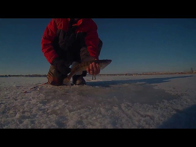 Ловля судака на тюльку зимой Fishing for walleye on live bait in winter