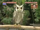 китайская сова-трансформер