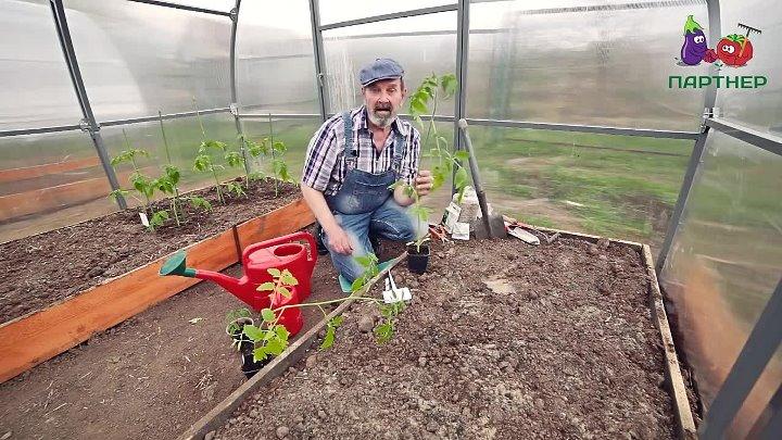Как сажать переросшую рассаду томатов