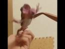 Лягушка Кержакова