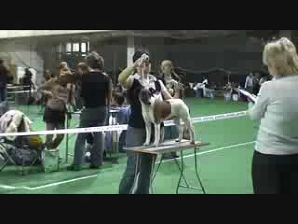 DogStatus.ru: Терьер-союз-2010, фокстерьер гладкошерстный