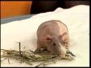 Домашний БЕГЕМОТИК Всё о морских свинках ЕТВ