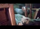 Коза фотомодель.Соседи по коммуналке в шоке.А нам?