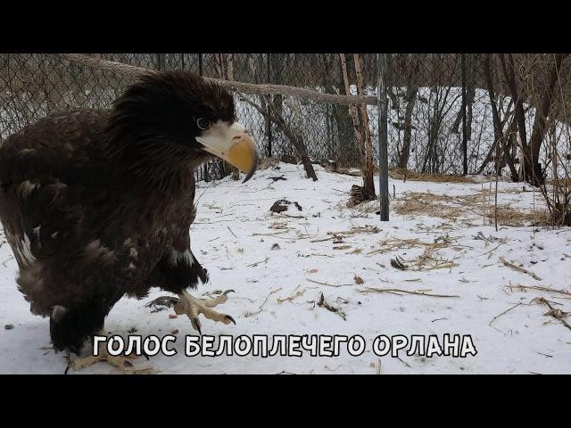 ГОЛОС БЕЛОПЛЕЧЕГО ОРЛАНА