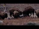 Бизоны против Волков Древнее противостояние Документальные фильмы National Geographic NatGeo WILD