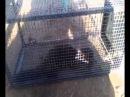 Как поймать хорька ласку крысу