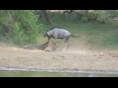 Big Croc Attacks Another Wildebeest at Pete's Pond December 21 2017