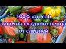 100 СПОСОБ ЗАЩИТЫ ПЕРЦА ОТ СЛИЗНЕЙ