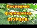 Окончательная формировка огурцев партенокарпических и пчелоопыляемых Лечение мокнущих стеблей
