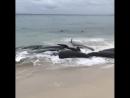 Более 150 дельфинов выбросились на берег залива Хэмелин в Австралии. (VHS Video)