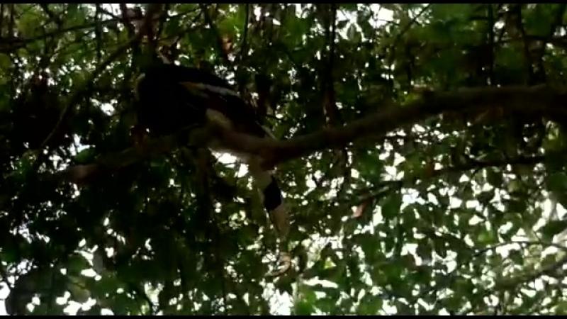 Современный птеродактиль на тамариндовом дереве