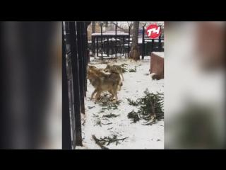 Волки в зоопарке ждут еду