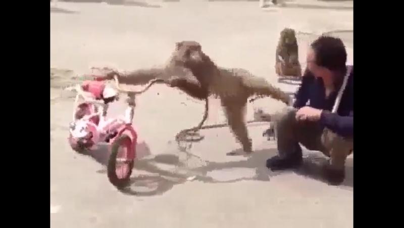 Küstah maymun