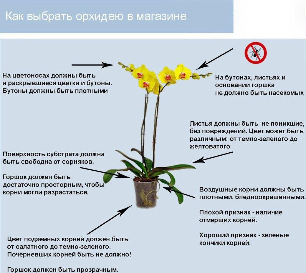 орхидея или фаленопсис - Страница 2 VC-hIDCtnas