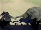 слон против страуса