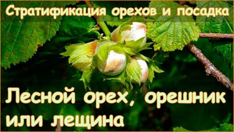 Лещина орешник или лесной орех - стратификация и посадка
