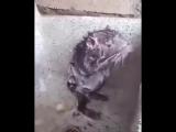Крыса моется