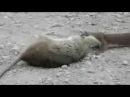 Ласка против крысы Lasica i pacov