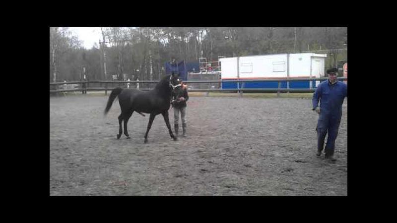 Zwarte arabische dekhengst Qamir black stallion met een super karakter